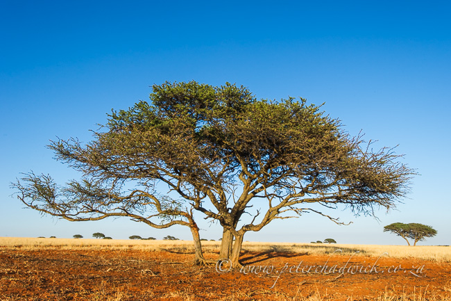 Camel Thorn tree by wildlife and conservation photographer Peter Chadwick