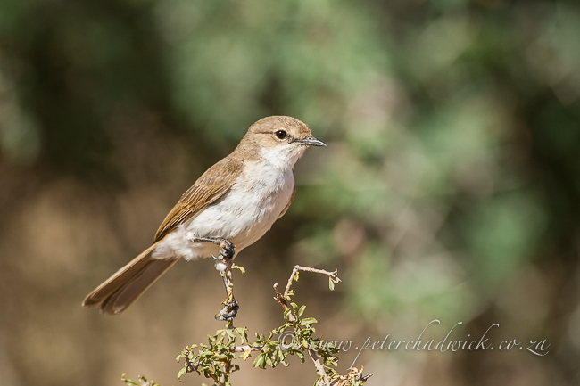 Marico Flycatcher by wildlife and conservation photographer Peter Chadwick