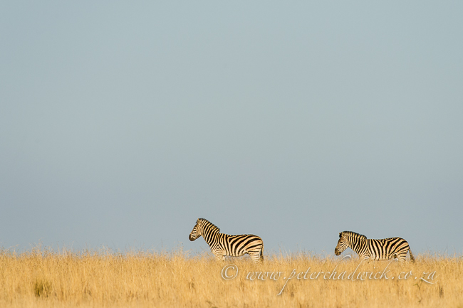 Burchells Zebra on dune crest by wildlife and conservation photographer Peter Chadwick