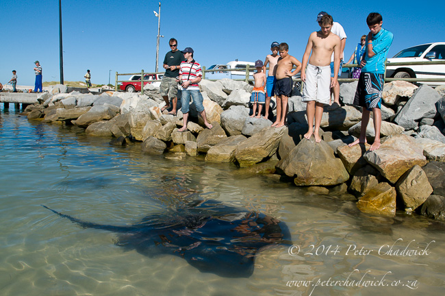 Short-tailed stingray at Struisbaai by wildlife and conservation photographer Peter Chadwick