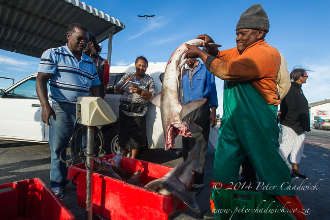 Weighing the shark catch by wildlife and conservation photographer Peter Chadwick