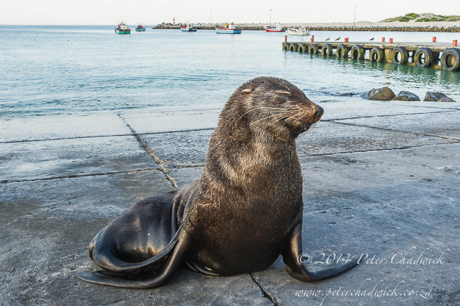 Blind Cape Fur Seal by wildlife and conservation photographer Peter Chadwick