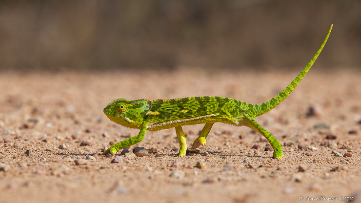 Flap-neck Chameleon crosses the road | Arne Purves