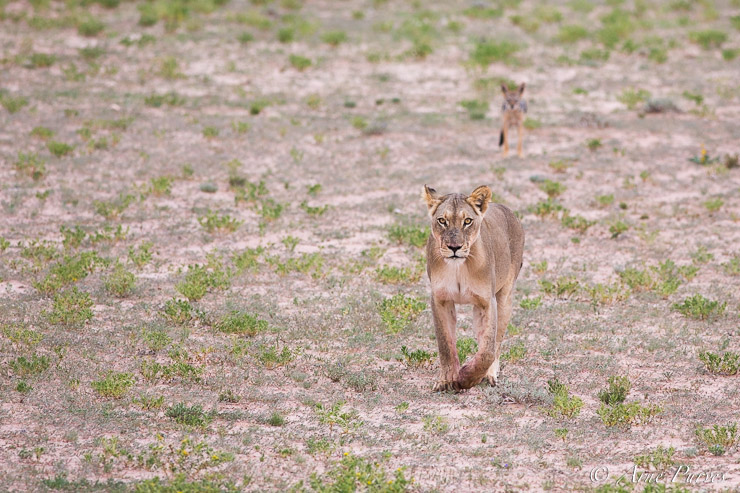 A lioness is tracked closely by a Black-backed jackal