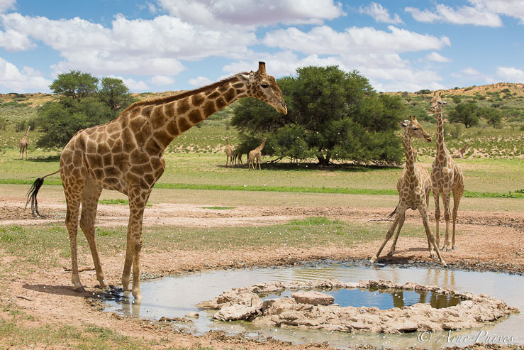 A herd of Giraffe drink at Veertiende waterhole south of Mata Mata