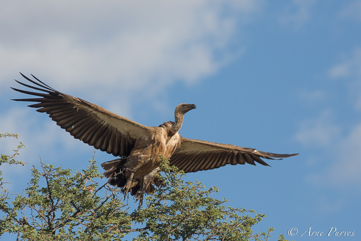 A white-backed vulture takes off from its roost just outside Mata Mata camp