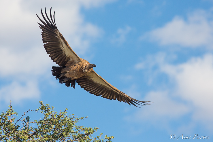 A white-backed vulture in flight.