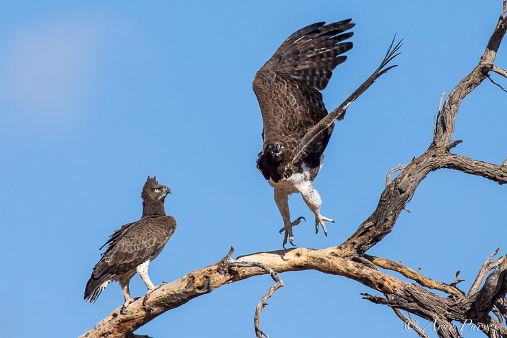A pair of Martial Eagles protect their nest from a leopard.