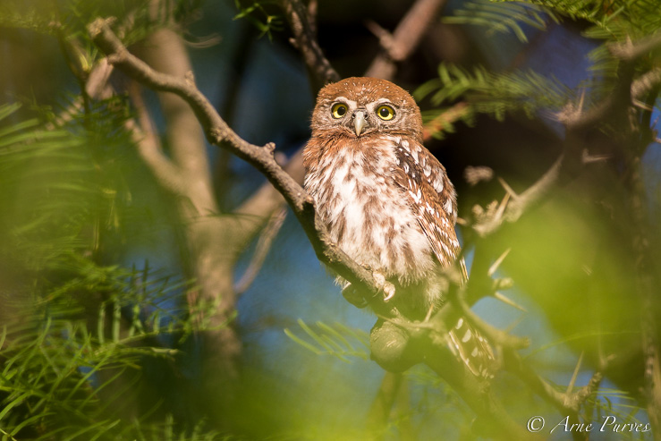 A Pearl-spotted owl in Nossob camp
