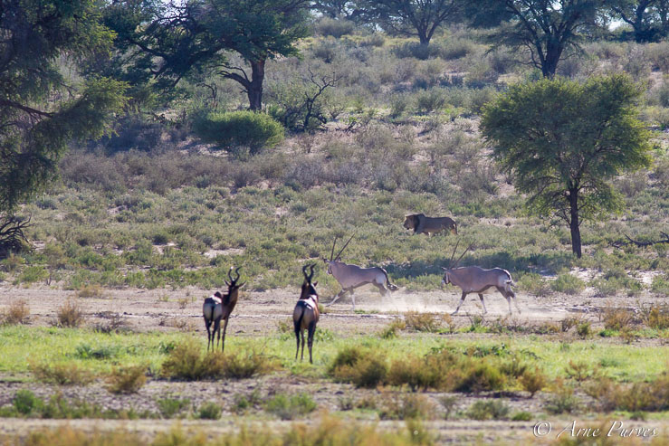 Gemsbuck and Red Hartebeest are alerted by the presence of a male lion