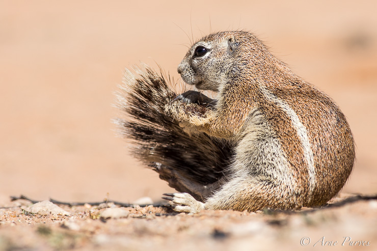 The camp dwelling ground squirrel.