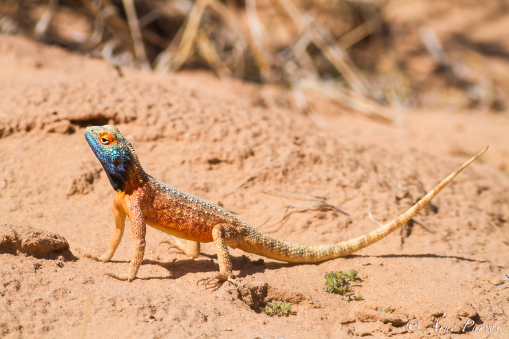 A Ground agama takes evasive action from the hot sand