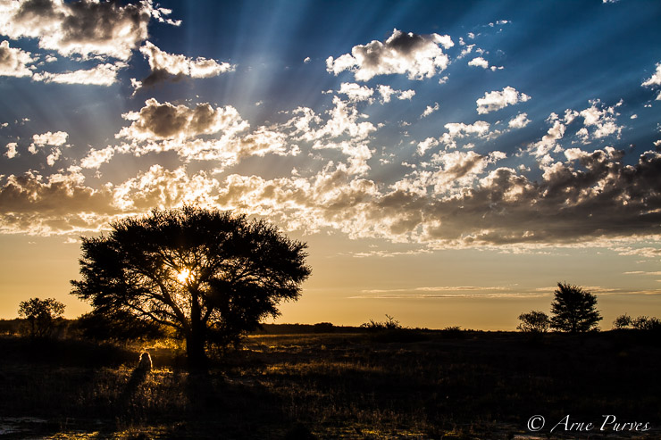 Kgalagadi Lion sillouetted in the setting sun