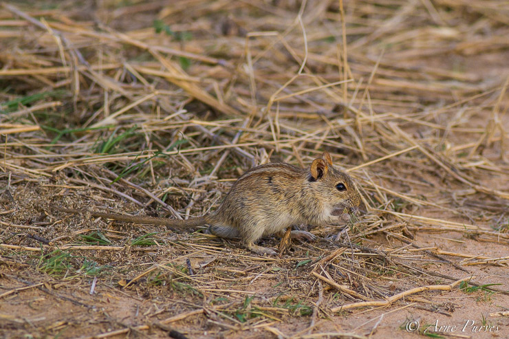 A Four-striped mouse feeds on seeds outside its nest