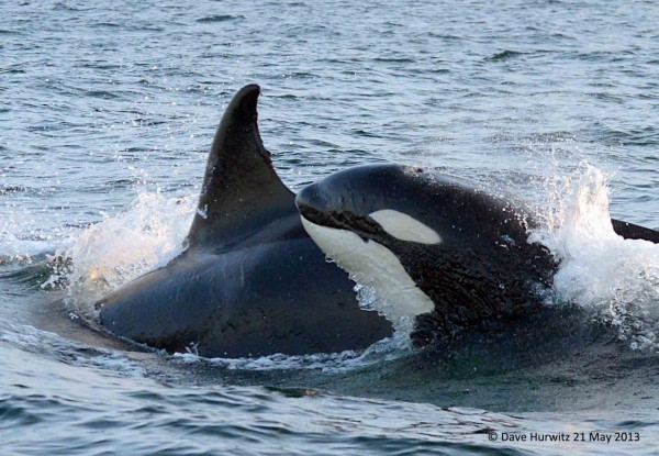 Orca's in False Bay | ©Dave Hurwitz | Simonstown Boat Company