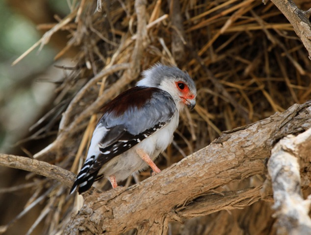 Pygmy Falcon at Social Weavers Communal Nest | Kgalagadi | ©Mathew Prophett