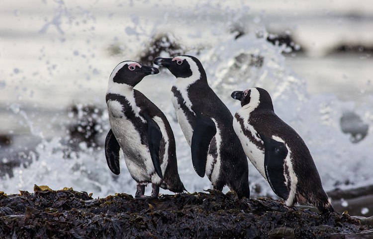 African Penguin on Robben Island | Photodestination | Arne Purves