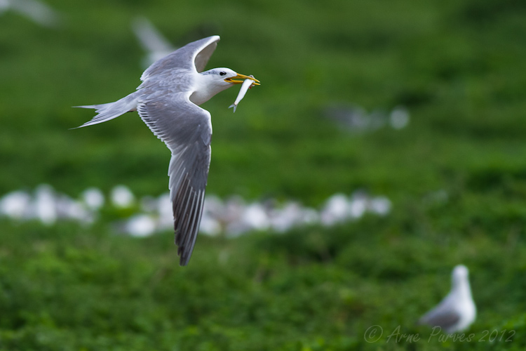 Swift Tern on Robben Island | Photodestination | Arne Purves