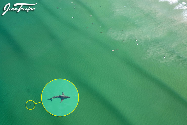 A small great white shark shares the water with surfers at Muizenberg Beach | ©Jean Tresfon