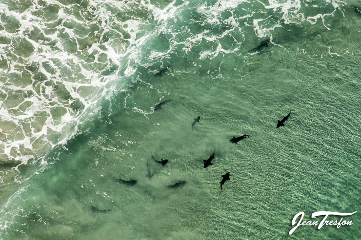 Spotted Gully Sharks aggregate in the shallow waters of Buffelsbaai | ©Jean Tresfon