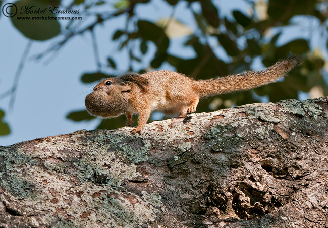 Tree Squirrel | Morkel Erasmus | Photodestination