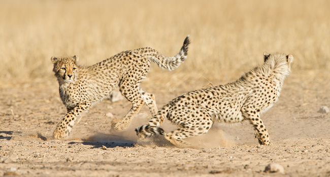 cheetah cubs playing | Morkel Erasmus | Photodestination