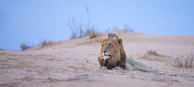 lion dune | Morkel Erasmus | Photodestination