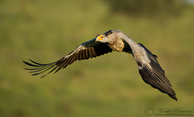 secretary bird flight | Morkel Erasmus | Photodestination