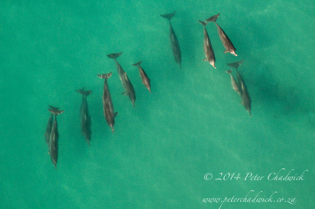 Aerial view of a Humpback Dolphin pod by wildlife and conservation photographer Peter Chadwick