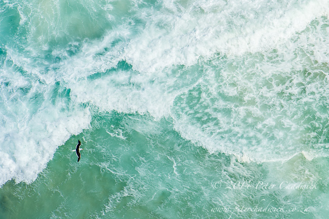 Aerial view of a kelp gull flying over the sea by wildlife and conservation photographer Peter Chadwick