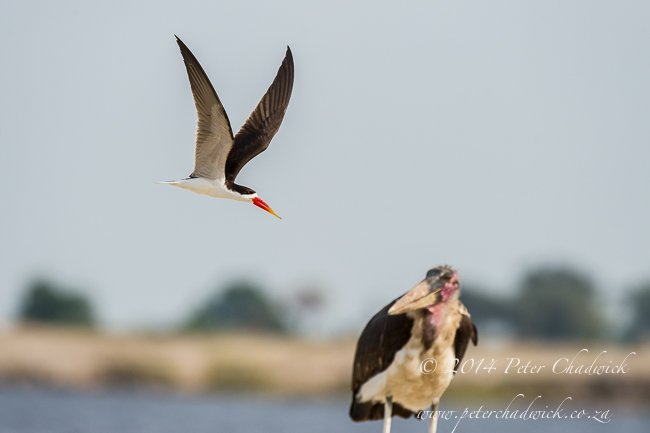 African Skimmer mobbing a Marabou Stork by wildlife and conservation photographer Peter Chadwick