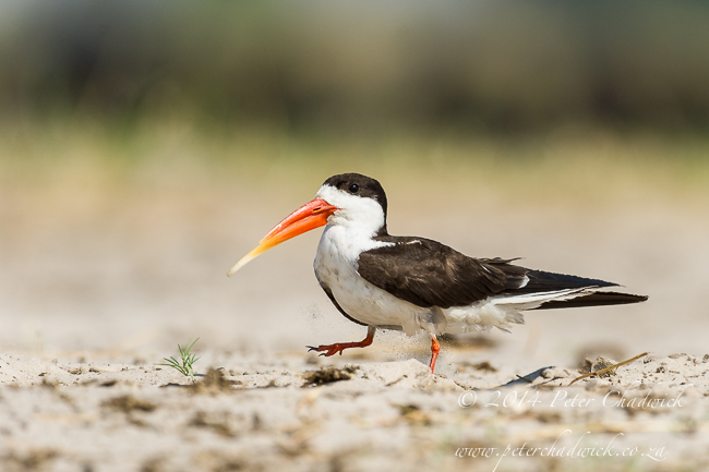 African Skimmer walking near nest by wildlife and conservation photographer Peter Chadwick