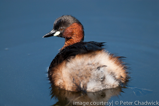 little grebe by wildlife and conservation photographer peter chadwick
