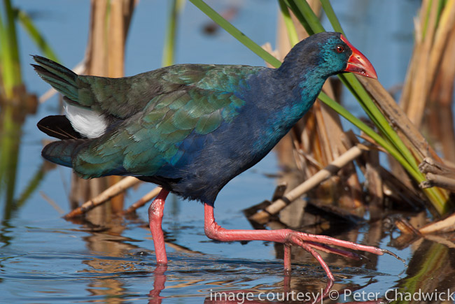 african swamphen by wildlife and conservation photographer peter chadwick
