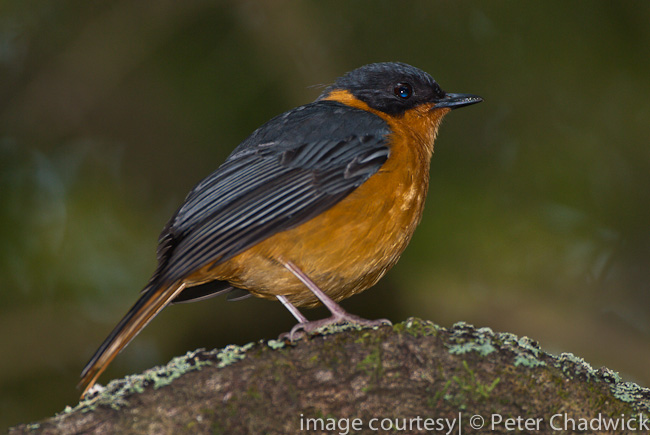 chorister robin chat by wildlife and conservation photographer peter chadwick