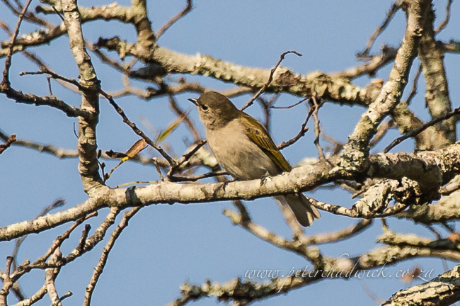 green-backed honeyguide by wildlife and conservation photographer Peter Chadwick