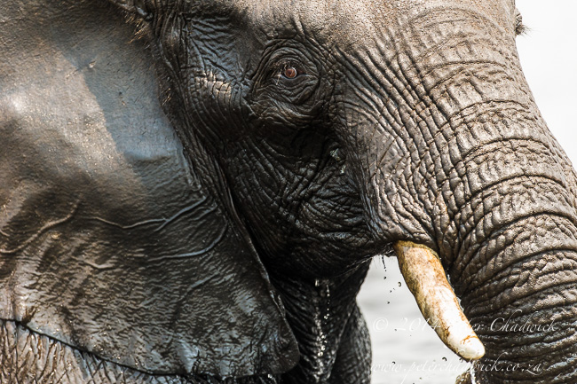 African Elephant emerging from the Chobe River by wildlife and conservation photographer Peter Chadwick