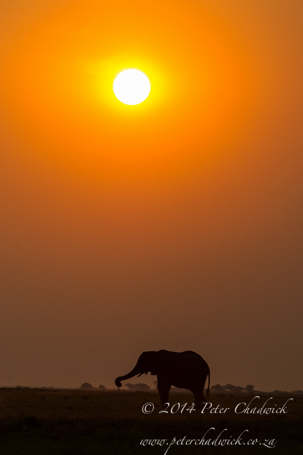 African Elephant feeding at sunset by wildlife and conservation photographer Peter Chadwick