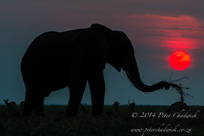 African Elephant bull feeding at dusk by wildlife and conservation photographer Peter Chadwick