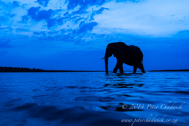 African Elephant bull crossing the Chobe river at dusk by wildlife and conservation photographer Peter Chadwick