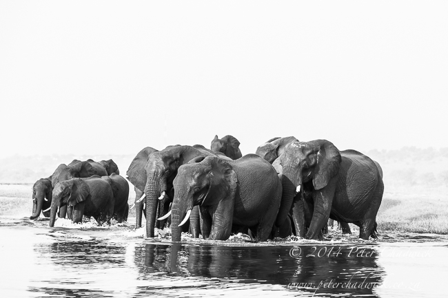 African Elephant herd crossing the Chobe River by wildlife and conservation photographer Peter Chadwick