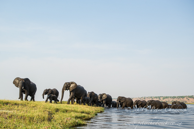 African Elephant herd on an island in the Chobe River by wildlife and conservation photographer Peter Chadwick