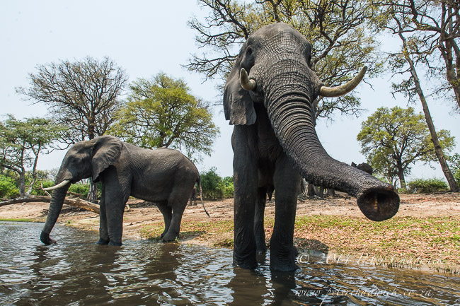 African Elephant bulls drinking by wildlife and conservation photographer Peter Chadwick
