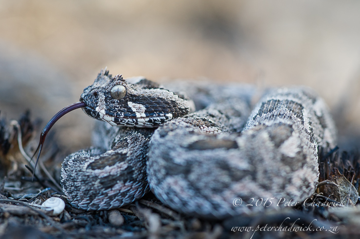 Southern Adder_PeterChadwick_AfricanConservationPhotographer