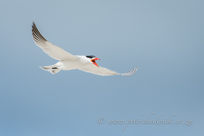 Caspian tern in flight by wildlife and conservation photographer Peter Chadwick