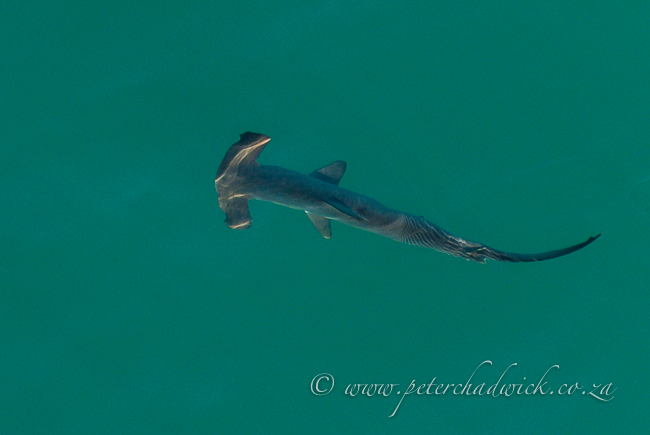 hammerhead shark by wildlife and conservation photographer Peter Chadwick