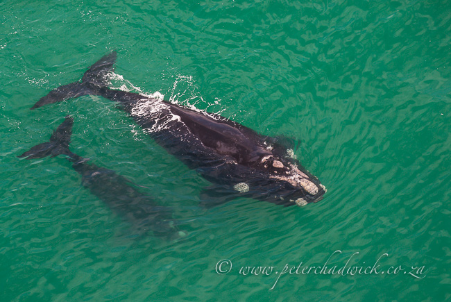 Southern Right Whale mother and llaf by wildlife and conservation photographer Peter Chadwick