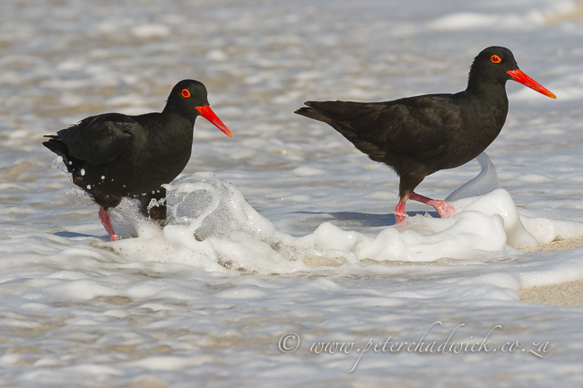 African Black Oystercatchers on the beach by wildlife and conservation photographer Peter Chadwick