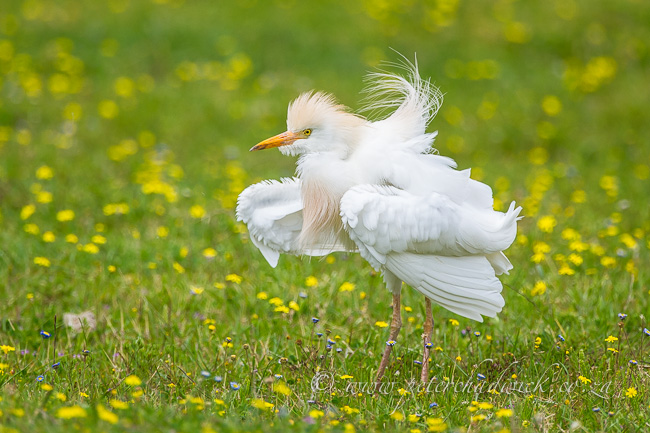 Cattle egret ruffling feathers by wildlife and conservation photographer Peter Chadwick