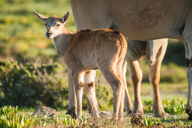 New Born Eland by wildlife and conservation photographer Peter Chadwick